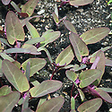 Red orach, early July. Also known as Garden Orach, Marsh Orach, Mountain Spinach and French Spinach.