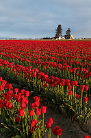 Rows of red tulips, Skagit Valley, Mount Vernon, Washington