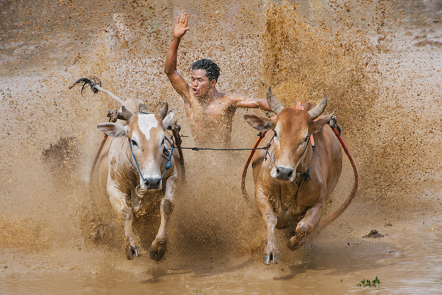 A rider spurs his bulls during a Pacu Jawi in Batusangkar. Pacu Jawi is a traditional farmers game in this part of West Sumatra, Indonesia.