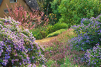 Shrubs - Flowering California lilac, Ceanothus 'Joyce Coulter' (left) with C. 'Concha' (rt.); with Salvia sonomensis groundcover and Redbud on hillside native plant garden