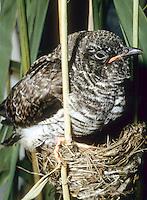 Kuckuck, Jungvogel, Küken im Nest eines Teichrohrsänger, Küken ist bereits größer als das Wirtsnest, Brutparasitismus, Cucullus canorus, cuckoo