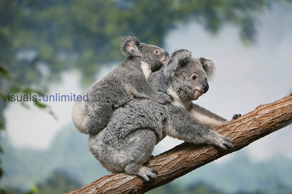 Koala with young riding on its back (Phascolarctos cinereus), Australia.