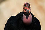 California Condor, Gymnogyps californianus, captive.USA....