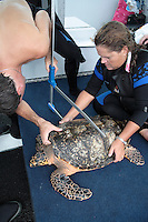 pk80448-D. Hawksbill Sea Turtle (Eretmochelys imbricata). Larry Wood, sea turtle biologist and Curator of the Loggerhead Marinelife Center of Juno Beach, using calipers to measure turtle's body depth. This is a subadult, approx. 55cm long and 20kg in weight. Florida, USA, Atlantic Ocean..Photo Copyright © Brandon Cole. All rights reserved worldwide.  www.brandoncole.com..This photo is NOT free. It is NOT in the public domain. This photo is a Copyrighted Work, registered with the US Copyright Office. .Rights to reproduction of photograph granted only upon payment in full of agreed upon licensing fee. Any use of this photo prior to such payment is an infringement of copyright and punishable by fines up to  $150,000 USD...Brandon Cole.MARINE PHOTOGRAPHY.http://www.brandoncole.com.email: brandoncole@msn.com.4917 N. Boeing Rd..Spokane Valley, WA  99206  USA.tel: 509-535-3489