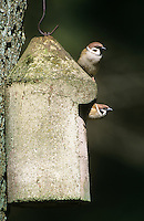 Feldspatz, Feld-Spatz, Feldsperling, Feld-Sperling, Paar, Pärchen am Nistkasten, Spatz, Sperling, Passer montanus, tree sparrow
