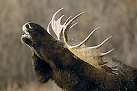 Bull Moose sniffing the air during the fall mating season.  Most likely trying to locate a receptive cow moose.