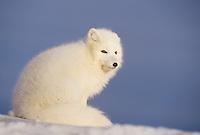 Arctic fox (Vulpes lagopus), adult in winter coat, Churchill, Manitoba, Canada
