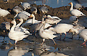 WA08103-00...WASHINGTON - Large flock of snow geese crossing through a puddle in a field on the Fir Island section of the Skagit Wildlife Area.