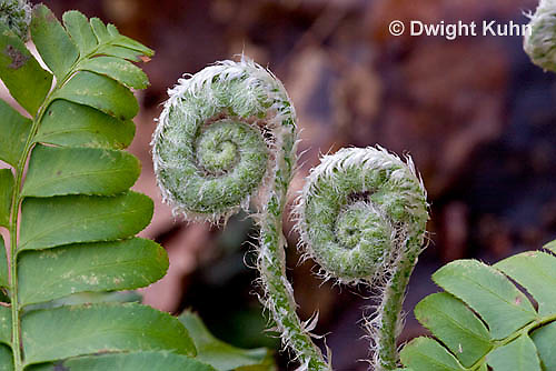FE04-504z Christmas Fern Fiddleheads emerging and unfolding, Polystichum acrostichoides