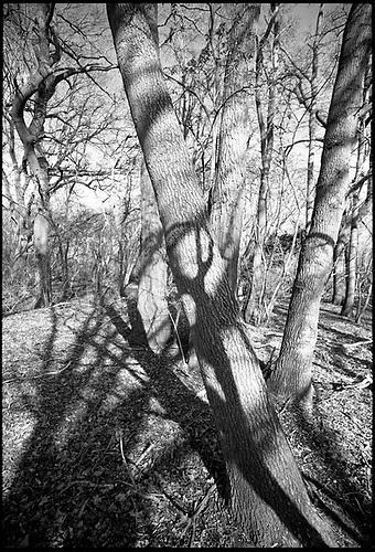 Shadowed Tree II, Thorndon Woodland, Suffolk by Paul Cooklin