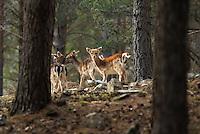 deers in Montes Invernadeiros natural park. Spain.
