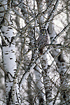 As one of the worlds largest owls, a great gray settles onto his perch among the willowy branches of an aspen tree.