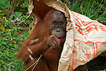 Wildlife photography, orang-utan