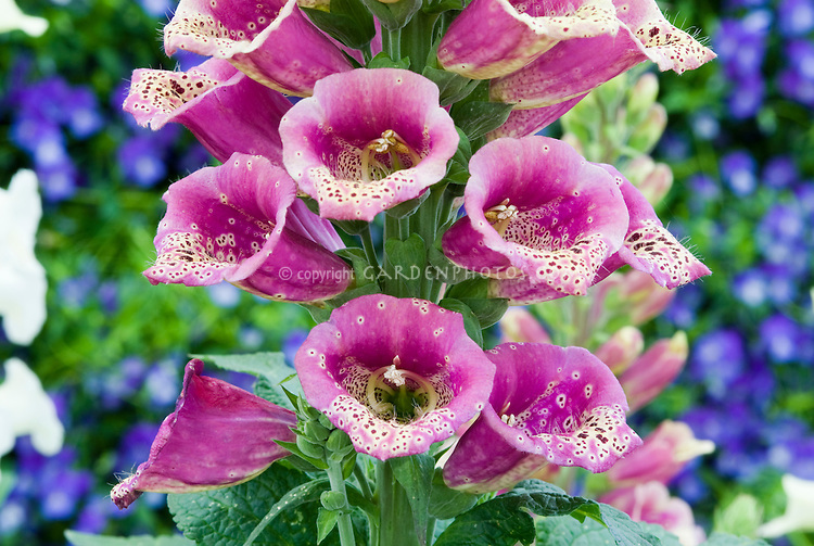 Foxglove in flower, closeup of Digitalis purpurea Carousel Rose