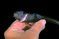 pygmy shark, female, Euprotomicrus bispinatus, the smallest shark species, Kona, Big Island, Hawaii, Pacific Ocean (deep sea specimen)