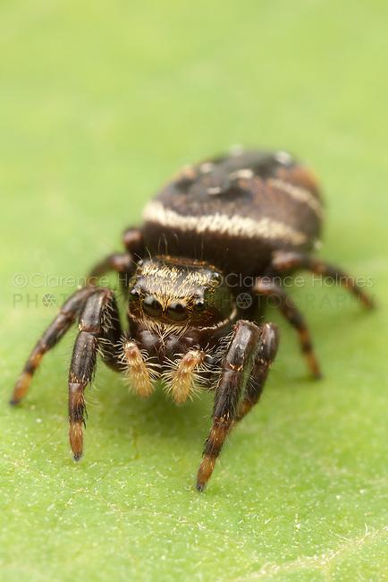 Jumping Spider (Phidippus clarus) - Immature Female, Ward Pound Ridge Reservation, Cross River, New York