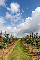 Ripening apples on closely spaced trees in an apple orchard under a blue sky in mid-summer.