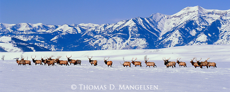 Gathered below the southern Teton Range on the National Elk Refuge, a herd of bull elk band together at sunset to pass the night on the National Elk Refuge in Jackson Hole, Wyoming.