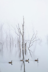 Bare trees stand in a thick fog at Lake Remembrance in Blue Springs, Missouri.  Reflections of the trees can be seen in the still water of the lake.
