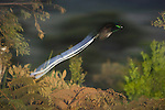 Adult male Ribbon-tailed Astrapia (Astrapia mayeri) in flight..Endangered Species (IUCN Red List: NT)