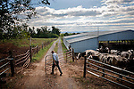 James Rhodes opens the gate to let the cattle out to the pasture. Farming is a primary occupation for Old Order Mennonites because it allows the family to work together as a unit without too many worldly distractions. Mennonites believe in living off the land and being self-sustaining.