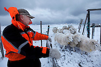 Fisherman and sheep farmer Oddieif Torsteinsen tend to his animals on the island of Røst