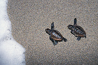 na883. Loggerhead Sea Turtle hatchlings (Caretta caretta). Florida, USA, Atlantic Ocean..Photo Copyright © Brandon Cole. All rights reserved worldwide.  www.brandoncole.com..This photo is NOT free. It is NOT in the public domain. This photo is a Copyrighted Work, registered with the US Copyright Office. .Rights to reproduction of photograph granted only upon payment in full of agreed upon licensing fee. Any use of this photo prior to such payment is an infringement of copyright and punishable by fines up to  $150,000 USD...Brandon Cole.MARINE PHOTOGRAPHY.http://www.brandoncole.com.email: brandoncole@msn.com.4917 N. Boeing Rd..Spokane Valley, WA  99206  USA.tel: 509-535-3489
