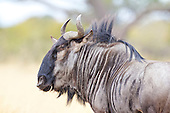 Portrait of a Blue Wildebeest, one of two main speciecs the other is the Black. Common and famous in the Serengeti for the mass migration across the Masai mara. Least concern but habitats as expected are threatend.