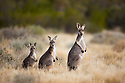 Australia,  NSW, Sturt National Park; red kangaroo mother with joeys(Macropus rufus)in grassland; the red kangaroo population increased dramatically after the recent rains in the previous 3 years following 8 years of drought