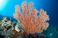 Gorgonian Coral, Indonesia, Pacific Ocean.
