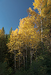 Golden fall colors of the aspen trees in North Idaho