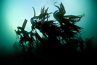 Kelp, Laminaria hyperborea,.Atlantic marine life, Saltstraumen, Bodö, Norway.Model release by photographer