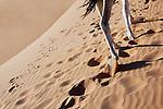 Camel legs walking in sand in the Sahara desert.