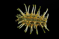 Bur Parsley seed (Caucalis platycarpos)