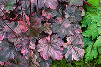 Heuchera 'French Quarter'