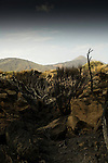 Tenerife forest fire damage. Burnt bushes, with the background of Mount Teide.  Tenerife, Canary Islands, Spain