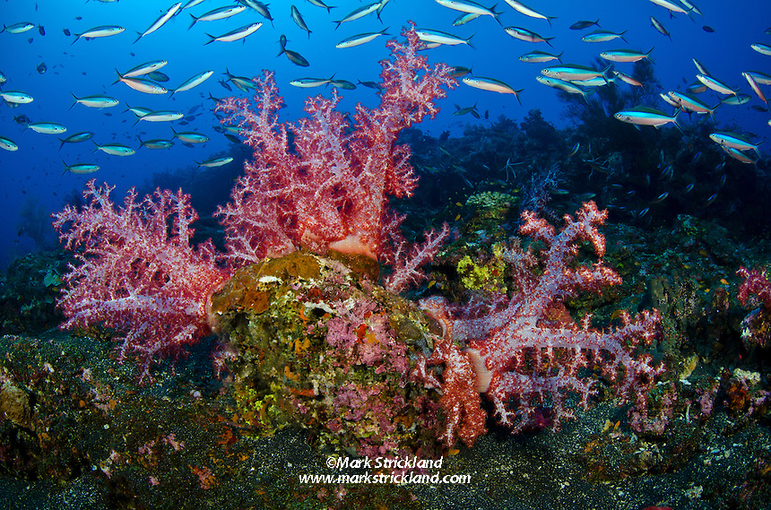 Schooling Bluestreak Fusiliers, Pterocaesio tile, flow past vibrant soft corals and encrusting sponges, surrounded by dark volcanic substrate at a site called Black Magic, Barren Island, Andaman Islands, India, Andaman Sea