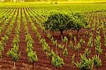 Saint Helena vineyard in late spring.