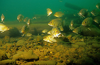 School of Rock Bass including one fish eating a crayfish<br /> <br /> ENGBRETSON UNDERWATER PHOTO
