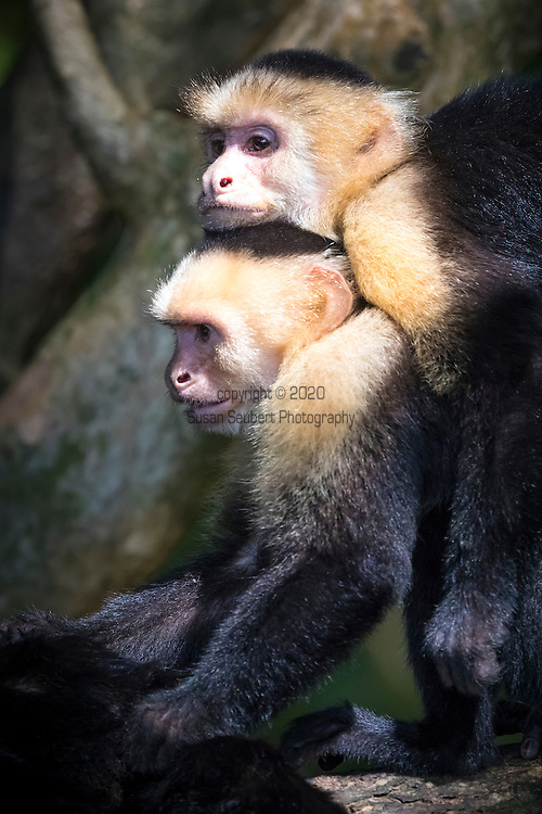 Capuchin monkeys in Manuel Antonio National Park, Costa Rica, Central America