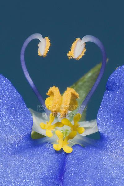 Dayflower (Commelina erecta), Fennessey Ranch, Sinton, Corpus Christi, Coastal Bend, Texas, USA