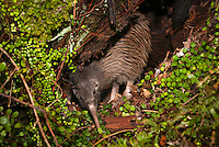 Kiwi Rowi in its burrow in Okarito forest, Westland NP, West Coast, New Zealand