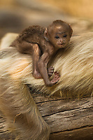 Baby Hanuman Langur or Gray Langur (Semnopithecus entellus) riding on adult's back, Pench National Park, Madhya Pradesh, India