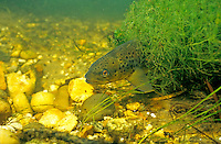 Brown Trout, Platte River, MI<br /> <br /> ENGBRETSON UNDERWATER PHOTO
