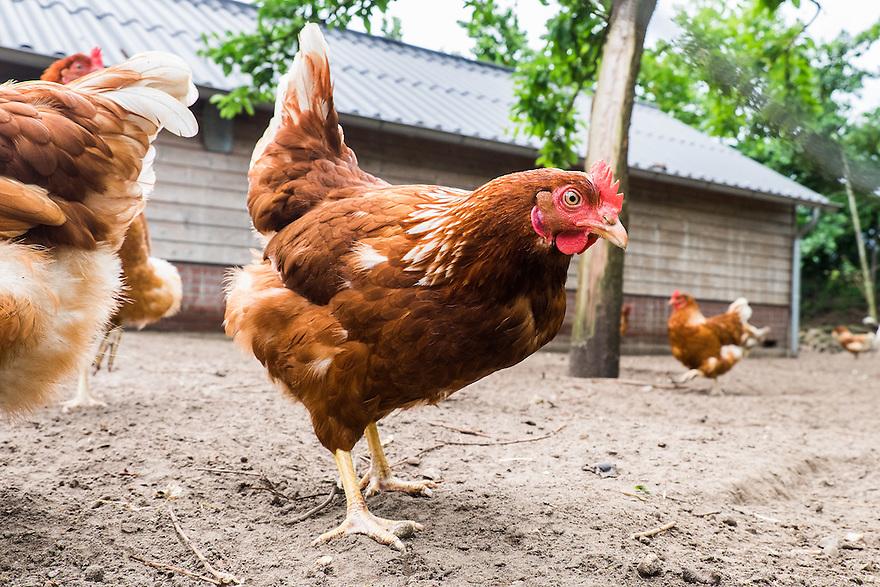 Nederland, Scherpenzeel, 20 juni 2015<br /> Open dag op biologische bedrijven. Lekker naar de Boer.  Door he hele land zijn veel biologische bedrijven open voor publiek. Er zijn informatiestands, rondleidingen, proeverijen. <br /> Boerderij Ruimzicht, biologisch dynamisch tuinbouwbedrijf met boerderijwinkel. <br /> Loslopende scharrelkippen<br /> <br /> Foto: Michiel Wijnbergh