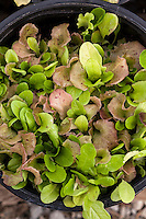 'Bon Vivant' lettuce seedlings  that will be soon harvested as microgreens.