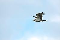 Osprey in flight, Katmai National Park, southwest, Alaska.