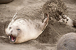 San Simeon, California; a female Northern Elephant Seal (Mirounga angustirostris) rest on the sand and uses her front flipper to fling sand on her back from sun protection