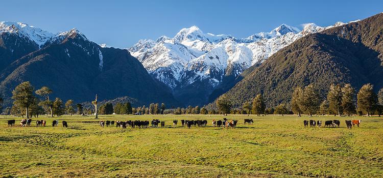 Hereford cattle, Mount Tasman - near Fox Glacier, West Coast, South Island, New Zealand - stock photo, canvas, fine art print