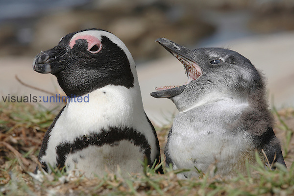 Black-footed Penguin adult and nestling at opening of burrow (Spheniscus demersus), near Cape Town, South Africa.